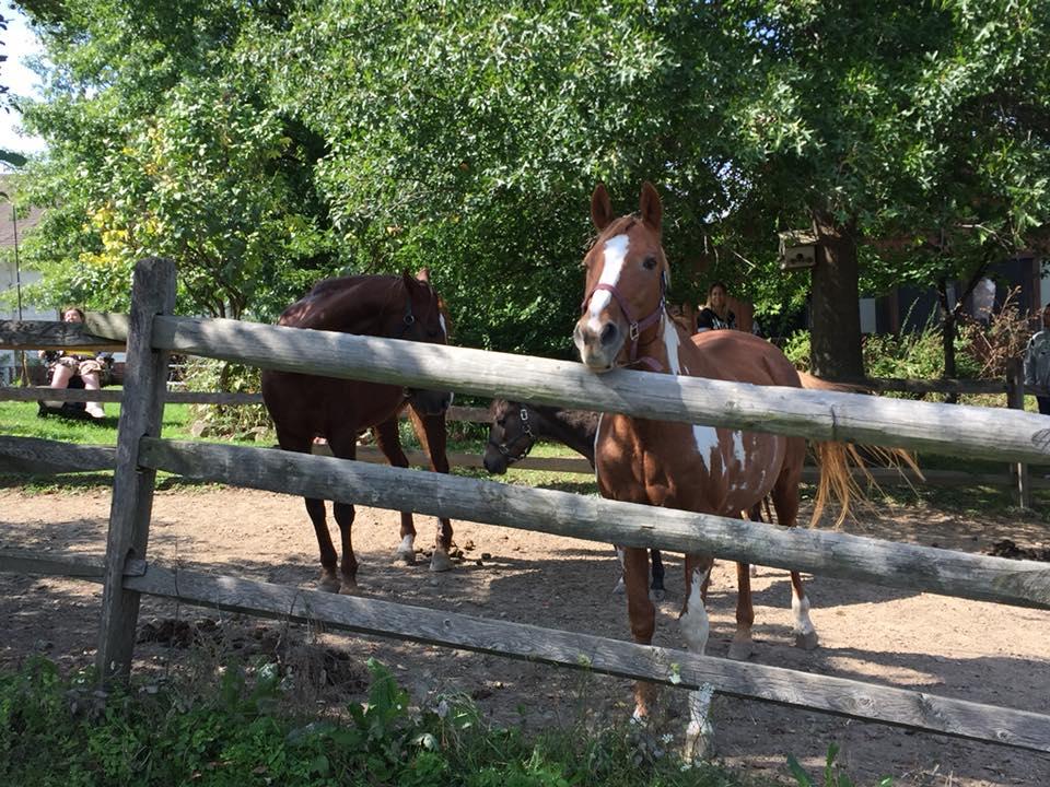 brown horses