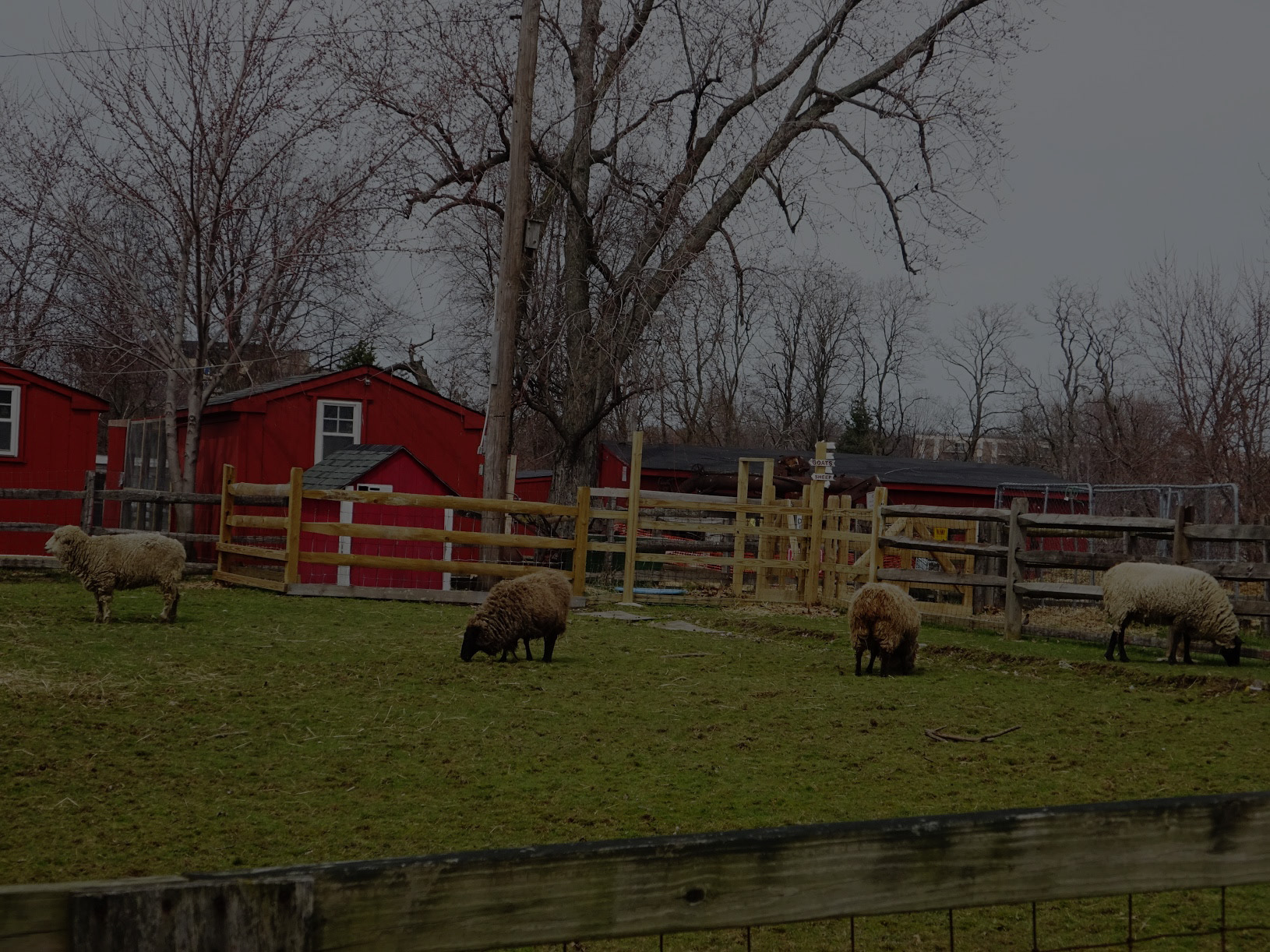 sheep in front of stearns homestead