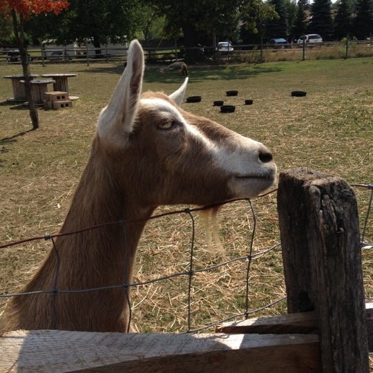 brown goat, Daydream, at Stearns Homestead (Stearns Farm)