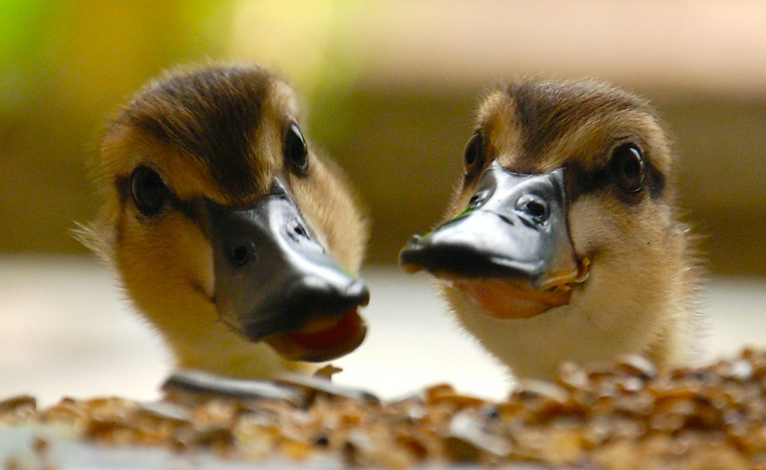Handy Hints for Raising Ducklings!