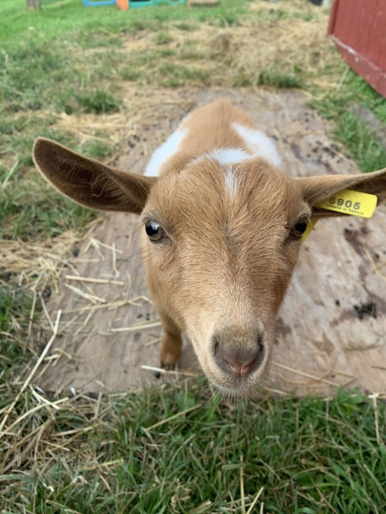 Baby fainting goat named Pancake, announcement as new animals at Stearns Farm