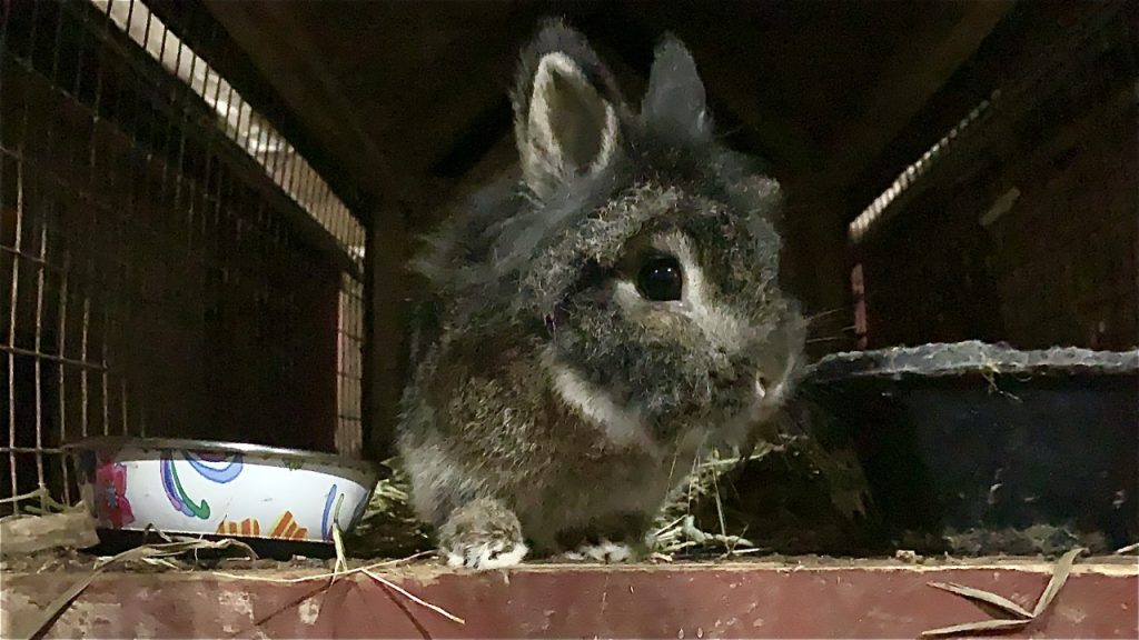 Pepito the Rabbit peeks out of his house to answer some questions about Lionhead Rabbits
