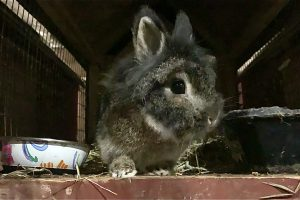 Interview With a Lionhead Rabbit